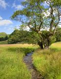 Alder tree and stream Royalty Free Stock Image