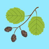 Alder twig with branch leaves and cones Royalty Free Stock Image