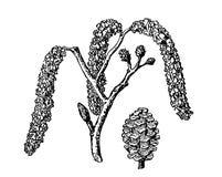 Alder. Vector leaves, flowers and fruits of the alder. Detailed botanical illustration for your design. Vector images of. Medicinal plants. Healthy lifestyle stock illustration