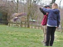 Aldergrove,不列颠哥伦比亚省 2019年3月25日-站立在鸟展示的教练员的手上的猫头鹰 免版税图库摄影