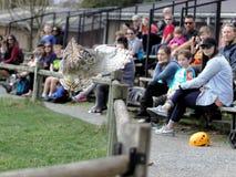 Aldergrove British Columbia Mars 25, 2019 - en Owl Standing på instruktörens hand i fågelshowen royaltyfri fotografi