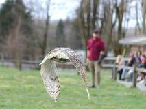 Aldergrove, Brits Colombia 25 maart, 2019 - Owl Standing op de trainer dient de vogel in toont royalty-vrije stock foto
