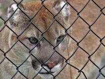 Aldergrove, Columbia Británica 25 de marzo de 2019 - un Couger establece el paso de la jaula en el mayor parque zoológico de Vanc imagenes de archivo