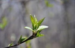 aldertree отпочковывается весна Стоковые Фотографии RF