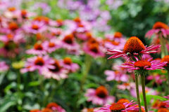 Aldrig sinande fält av den rosa och orange echinaceaen fotografering för bildbyråer