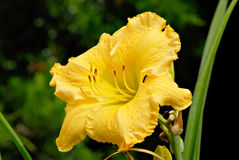 Alec Allen Daylily. Stock Photography