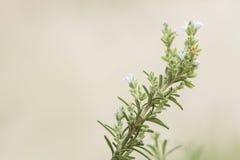 Alecrim - rozemarijn Royalty-vrije Stock Foto