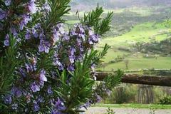 alecrins de florescência em um fundo de montes verdes imagem de stock royalty free