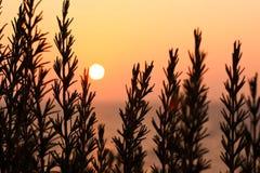 Alecrins no pôr do sol fotos de stock royalty free