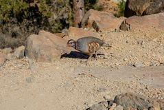 Alectoris barbara the bird pheasant family. In Tenerife Stock Photography