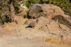 Alectoris barbara la familia del faisán del pájaro Foto de archivo
