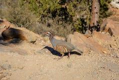 Alectoris barbara la familia del faisán del pájaro Imagenes de archivo
