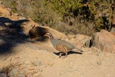 Alectoris barbara la familia del faisán del pájaro Imagen de archivo libre de regalías