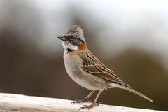 Alegre-chingolo Vogel mit den orange Farben gehockt auf einem Bretterzaun stockfotos