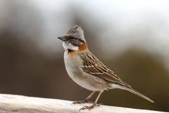 Alegre chingolofågel med orange färger som sätta sig på ett trästaket arkivfoton