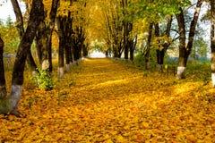 Aleia bonita em uma manhã ensolarada, outono dourado do bordo fotografia de stock