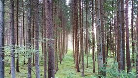 Aleia da floresta de árvores coníferas Fotos de Stock