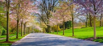Aleia das flores de cerejeira no jardim botânico da cidade de Essen Imagens de Stock Royalty Free