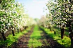 Aleia de árvores de maçã de florescência em por do sol defocused Foto de Stock Royalty Free