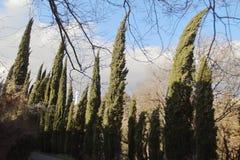 Aleia de Cypress no jardim botânico na cidade de Tbilisi no inverno Imagem de Stock Royalty Free