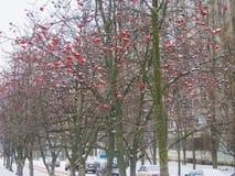 Aleia de Rowan do inverno foto de stock royalty free