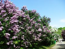 Aleia do parque botânico com arbustos lilás, natureza, verdes, plantas verdes Imagens de Stock Royalty Free