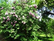 Aleia do parque botânico com arbustos lilás, natureza, verdes, plantas verdes Fotografia de Stock Royalty Free