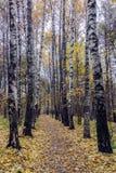 Aleia do vidoeiro no outono Fotografia de Stock