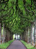 Aleia platan misteriosa da árvore Foto de Stock