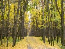 A aleia reta longa do asfalto coberta com o amarelo sae no outono Imagens de Stock
