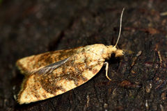 Aleimma loeflingiana tortrix micro moth in profile showing fringe on hind wing Stock Images