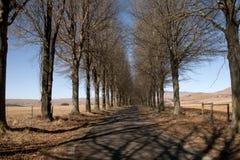 Aleja drzewa w Kamberg, Kwazulu Natal, Południowa Afryka Obrazy Stock