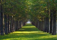 Aleja klonowi drzewa i zielony gazon Zdjęcia Royalty Free