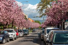 Aleja kwitnienie menchie Sakura w małym europejskim mieście zdjęcia stock