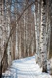 Aleja z śladem i narciarski ślad między brzozami w Rosja Fotografia Royalty Free