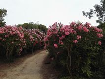 Aleja z różowymi kwiatami Obrazy Royalty Free