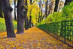 Aleja z spadać żółtymi liśćmi klonowymi w jesieni w lat dziąsłach Zdjęcie Stock