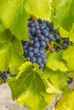 Alella. Spain. Vineyards of the Alella wine region in the vicinity of Barcelona on the Mediterranean Sea Stock Photos
