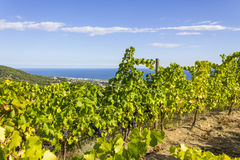 Alella. Spain. Vineyards of the Alella wine region in the vicinity of Barcelona on the Mediterranean Sea Stock Photography