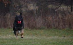 Alemán hermoso Shepard Dog Playing imagenes de archivo