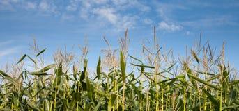 Alemanha, campo de milho e céu azul Fotografia de Stock