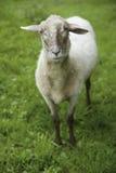 Alemania, Baviera, Schaeftlarn, opinión las ovejas nacionales que se colocan en hierba Foto de archivo libre de regalías