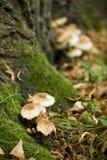 Alemania, montañas suabias, setas que crecen en un tronco de árbol cubierto de musgo imagen de archivo