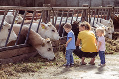 ALEMERE, NETHERLANDS - AUGUST 29, 2016: Child feeding cows Royalty Free Stock Photography