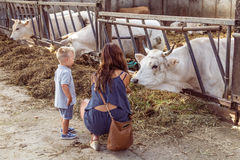 ALEMERE, NETHERLANDS - AUGUST 29, 2016: Child feeding cows Stock Images