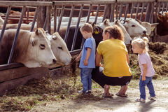 ALEMERE, NETHERLANDS - AUGUST 29, 2016: Child feeding cows Royalty Free Stock Photos