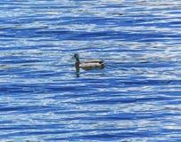 ` Alene Idaho de Coeur d del lago duck Blue Water Reflection Abstract imagenes de archivo