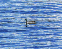 ` Alene Idaho di Coeur d del lago duck Blue Water Reflection Abstract Immagini Stock
