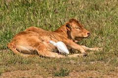 Alentejana Cow and Cattle Egret, Alentejo region, Portugal. Alentejana cow with a Cattle Egret, Bubulcus ibis, in breeding plumage searching her body for royalty free stock photo