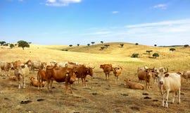 alentejo krów pole Obraz Royalty Free
